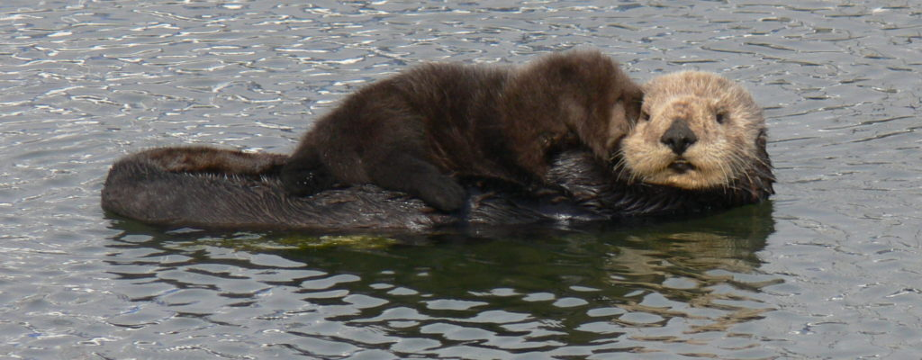 Mother sea otter